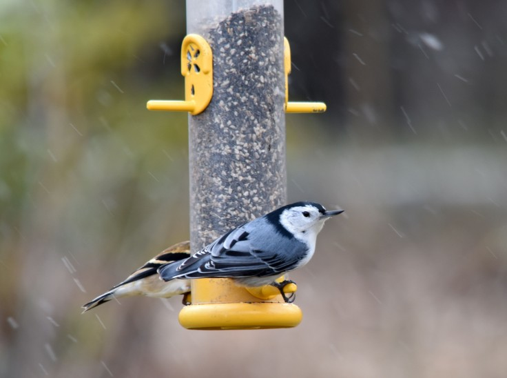 Nuthatch shares a feeder with an American Goldfinch