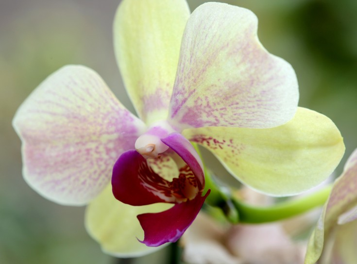 Moth orchid at the bay window