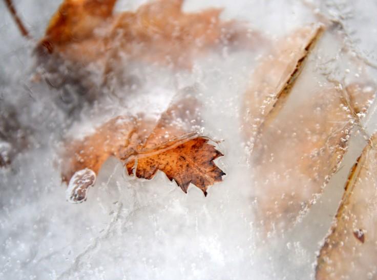 Frozen maple leaves