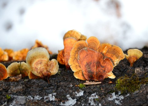 Either a different type of fungi or an older version of the one above