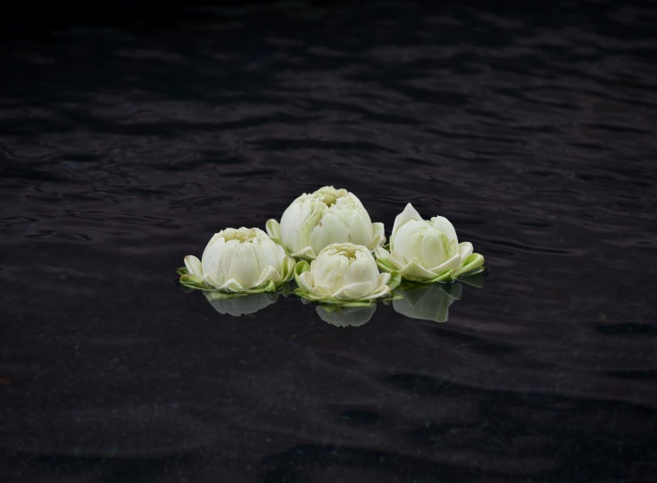 White lotus floating together