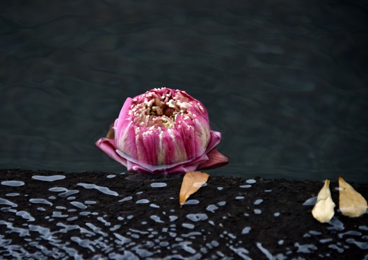 Pink lotus at the edge of the reflecting pool