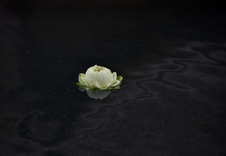 Floating White lotus