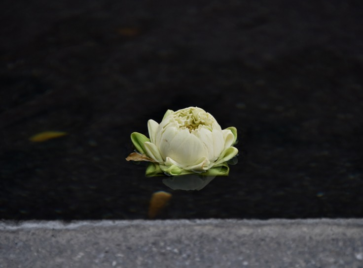 White lotus at the edge of the reflecting pool