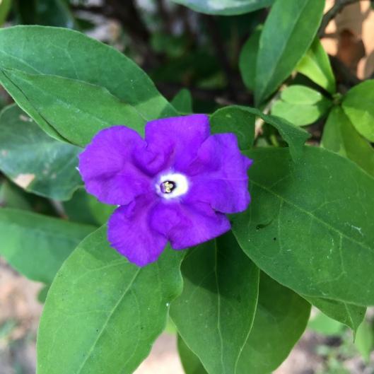 Paraguay Jasmine