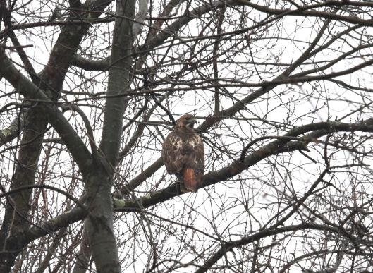 A Red-tailed hawk kept an eye on us from a tree further away