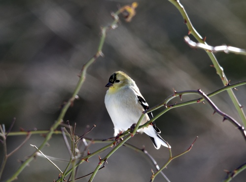 A male American Goldfinch