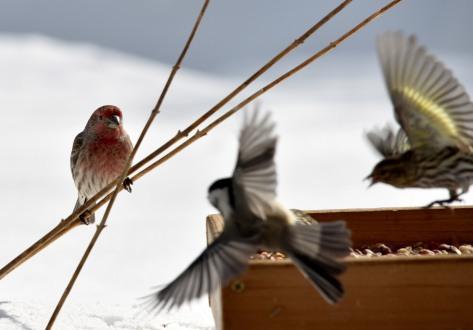 House finch, Pine siskin, Black-capped chickadee