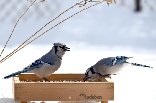 Blue Jay (Cyanocitta cristata) are not just feeding, they also pack seeds and hide them