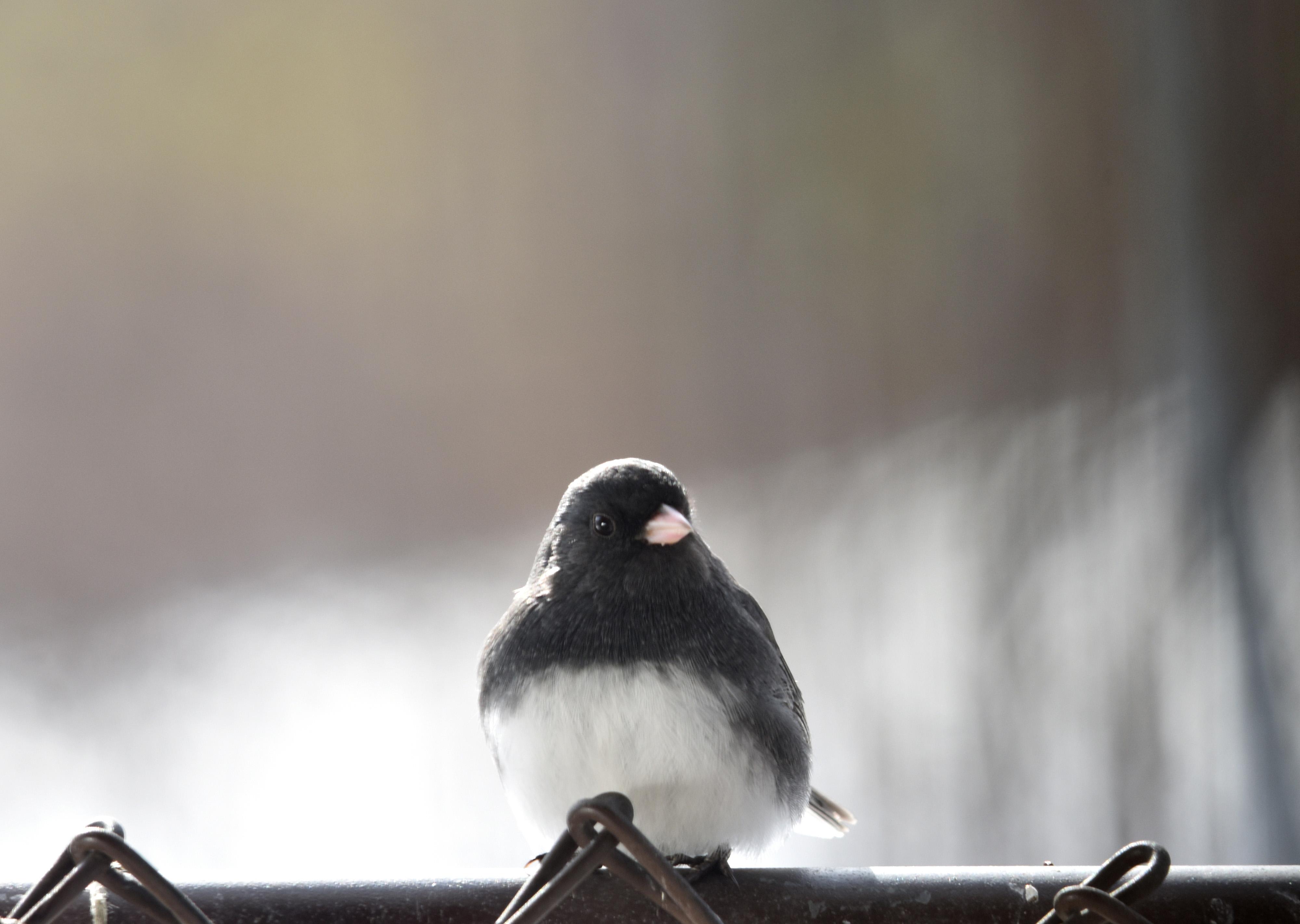 Cardenal norteño masculino | Pétalos y alas