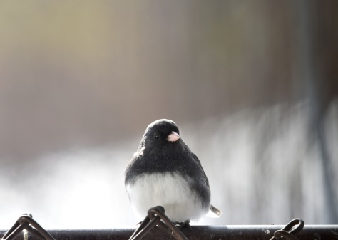 Puffed up Dark-eyed Junco