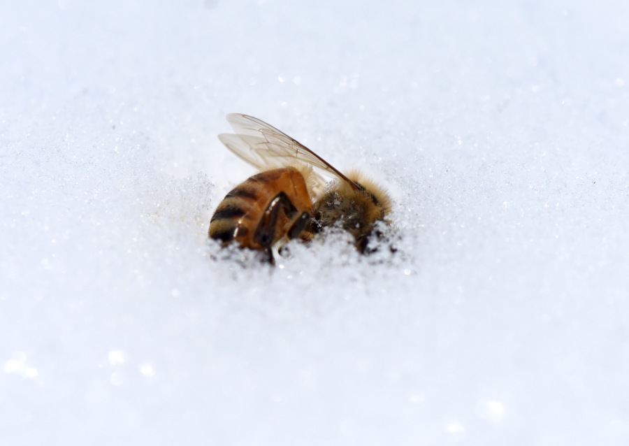Frozen bee