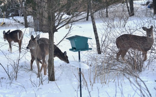 White-tailed deer are evening and late night visitors