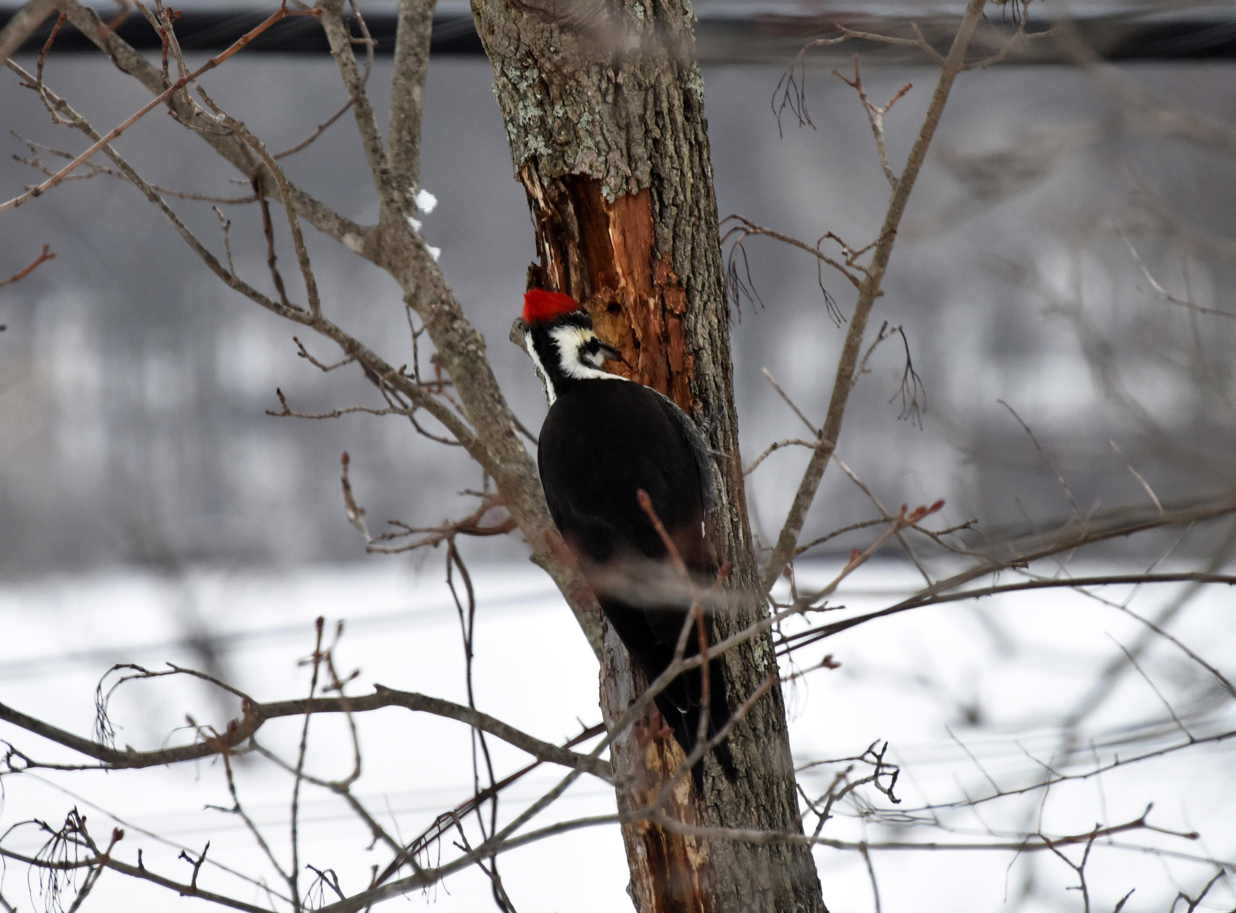 Cardenales | Maine: Una enciclopedia