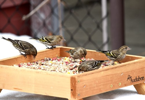 Pine siskin (Carduelis pinus) are back this year, plenty of them