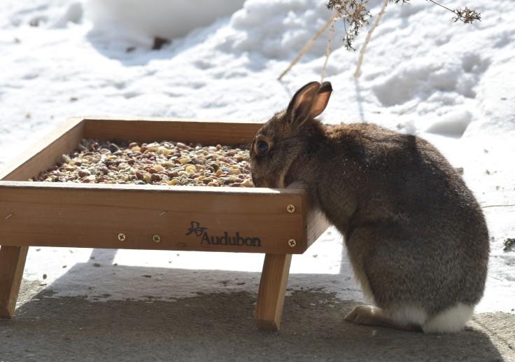 Rabbit at bird feeder tray