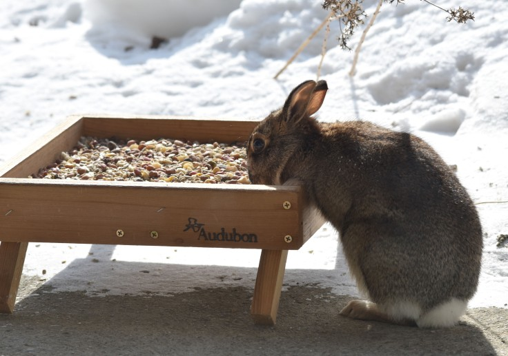 Rabbit at bird feeder tray