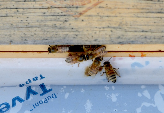 The bees came out from the top entrance since the bottom one is covered with snow.  I cleaned snow off the bottom landing afterward.