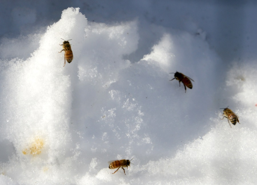 Dead bees on the snow in front of the hive