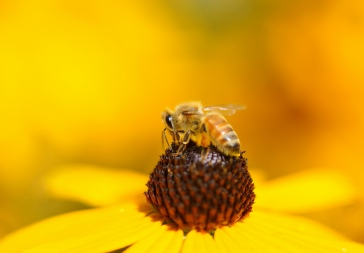 Honeybee on Black-eyed susan