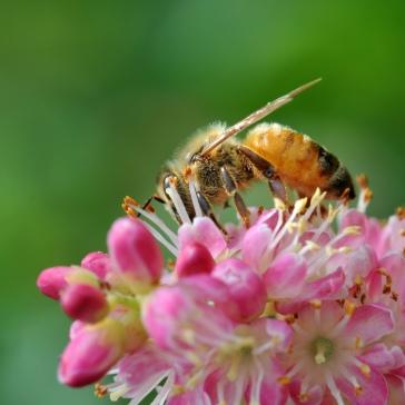 Honeybee on Summersweet
