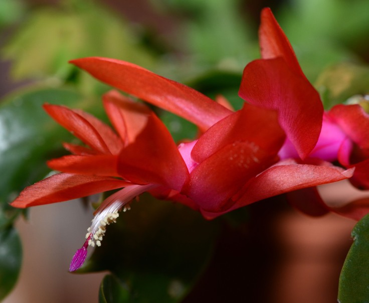 Christmas cactus or should I call it 'Spring' cactus