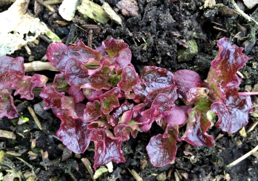 As much as their leaves look very fragile, this red leaf lettuce pulled through.