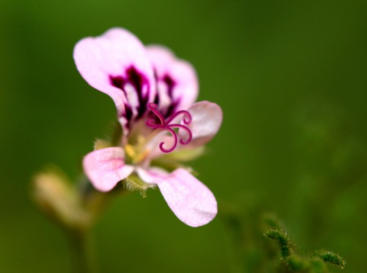 Geranium 'Skeleton Rose' also has many flower buds