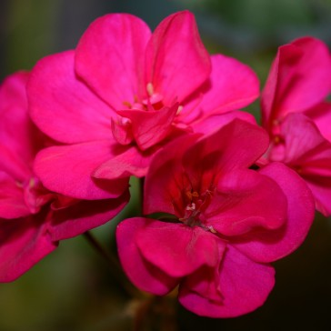 Geranium 'Tango Violet', though the flower has no scent, it has very striking color