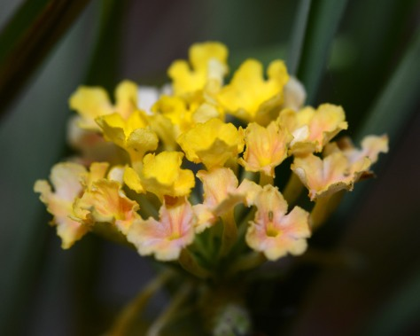 Most of the Lantana leaves had dropped off in winter but now green buds and flowers here and there