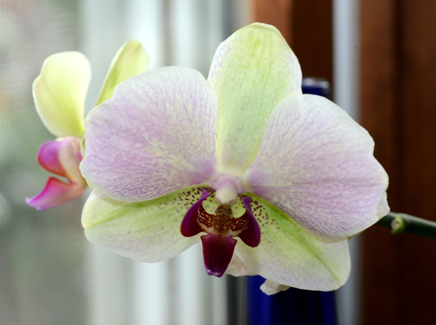 This Moth orchid has been blooming throughout the winter