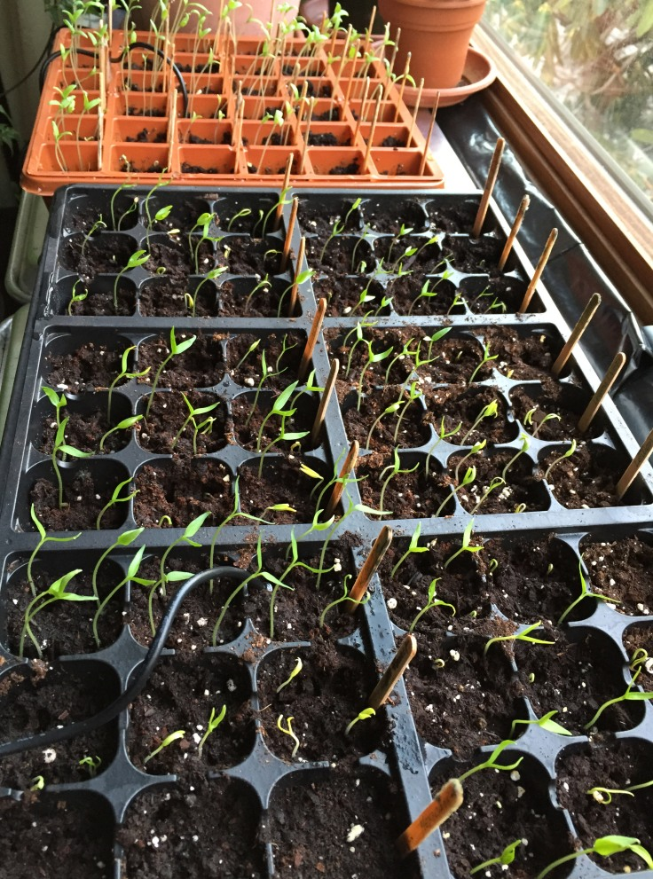 Tomato and chili pepper seedlings by the bay window, March 14
