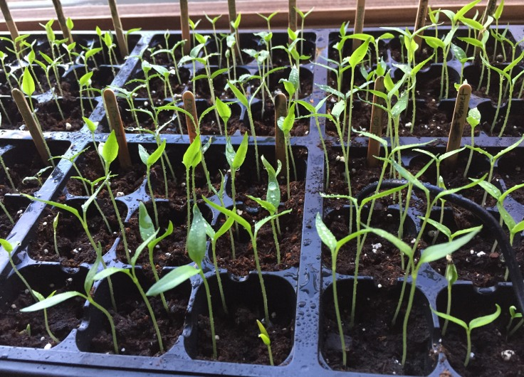 Chili pepper seedlings, March 19.  They are a little bit shorter than the tomato and  a little bit slower to grow