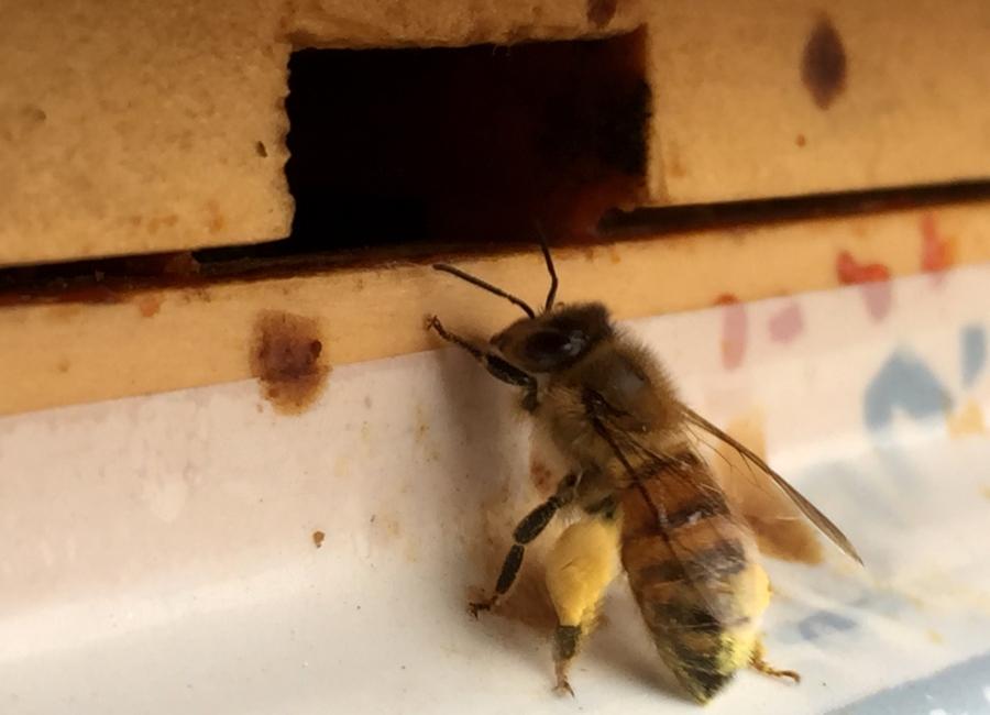 Honeybee returning with plenty of pollen