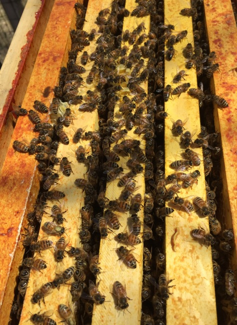 Plenty of honeybees in hive#1