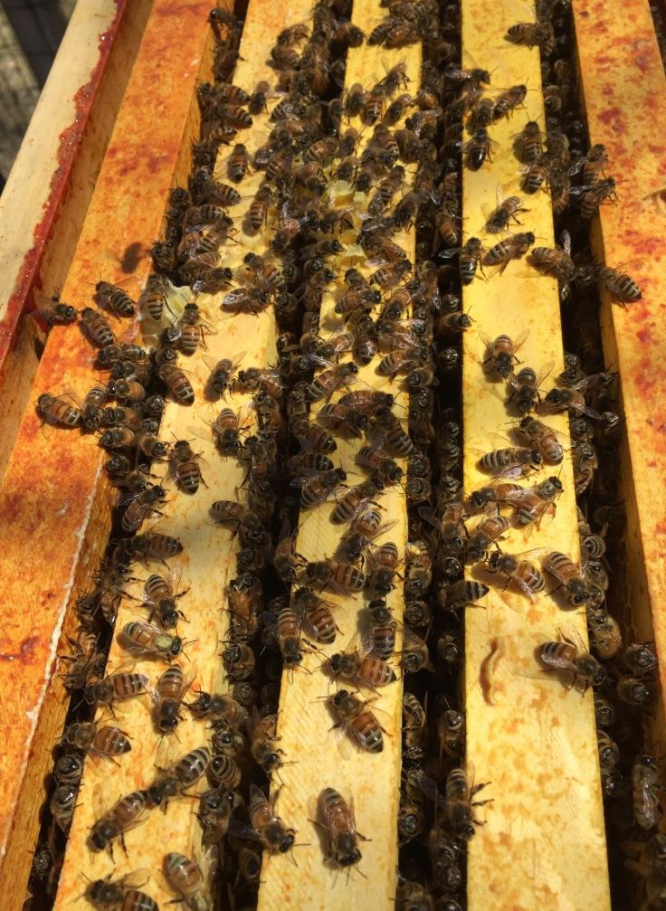 Plenty of honeybees in hive#1