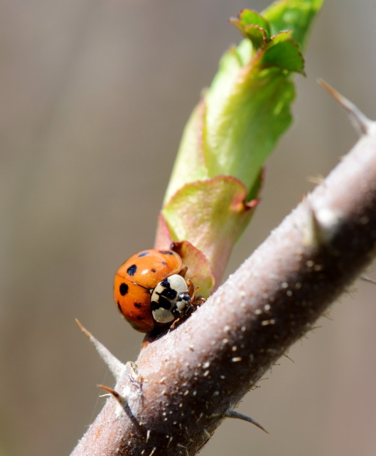 This lady beetle helping me cleaning up Rosa Rugosa 'Hansa'