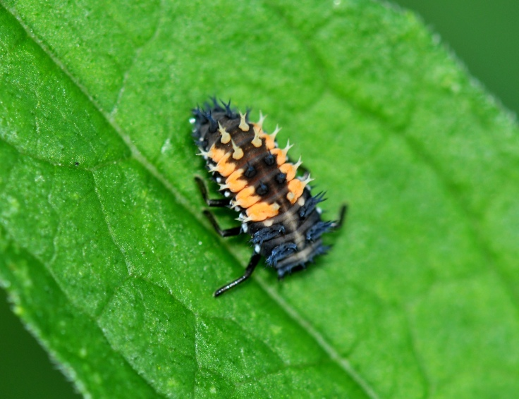 Ladybug larva on rose leaf