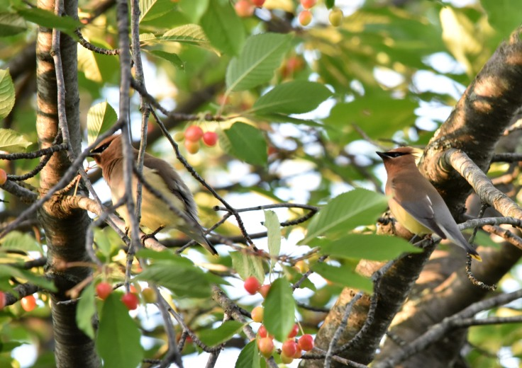 A pair of Cedar Waxwing on cherry tree