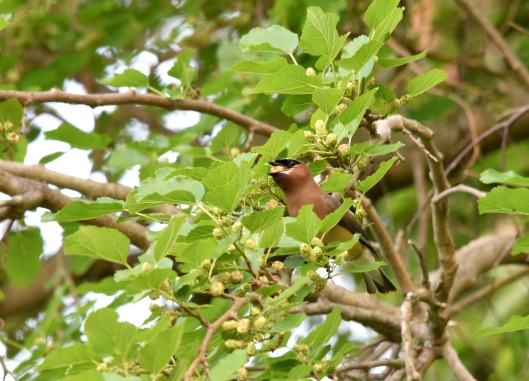 Cedar Waxwing (Bombycilla cedrorum) enjoying white mulberry