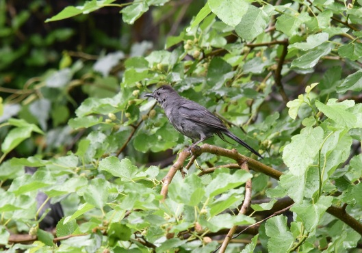 A wet Gray Catbird (Dumetella carolinensis) looking for a ripe mulberry