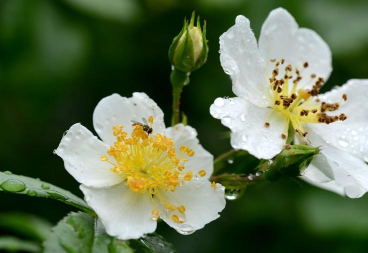 Rose 'Himalayan Alba'