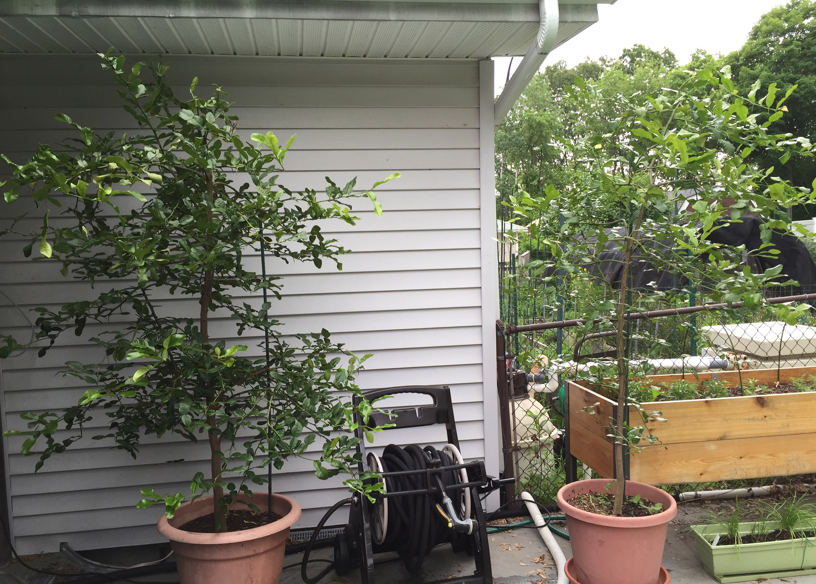 the left one is around 20 years old if i had let it grow naturally - Kaffir Lime Tree