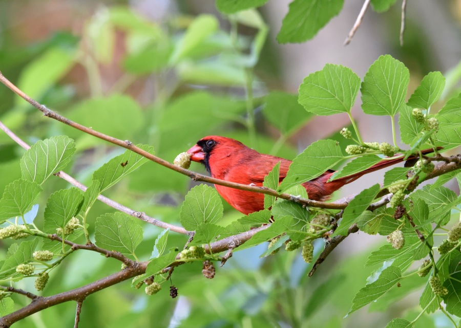 Northern Cardinal (Cardinalis cardinalis) looks more like a Christmas ornament among green leaves