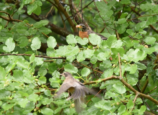 American Robin (Turdus migrators) also joins the feast