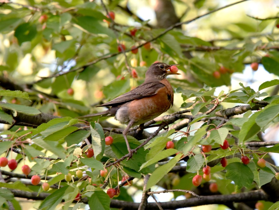 American Robin in the act of cherry picking