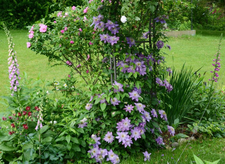 Clematis 'Crystal Fountain' produces abundant flowers this year