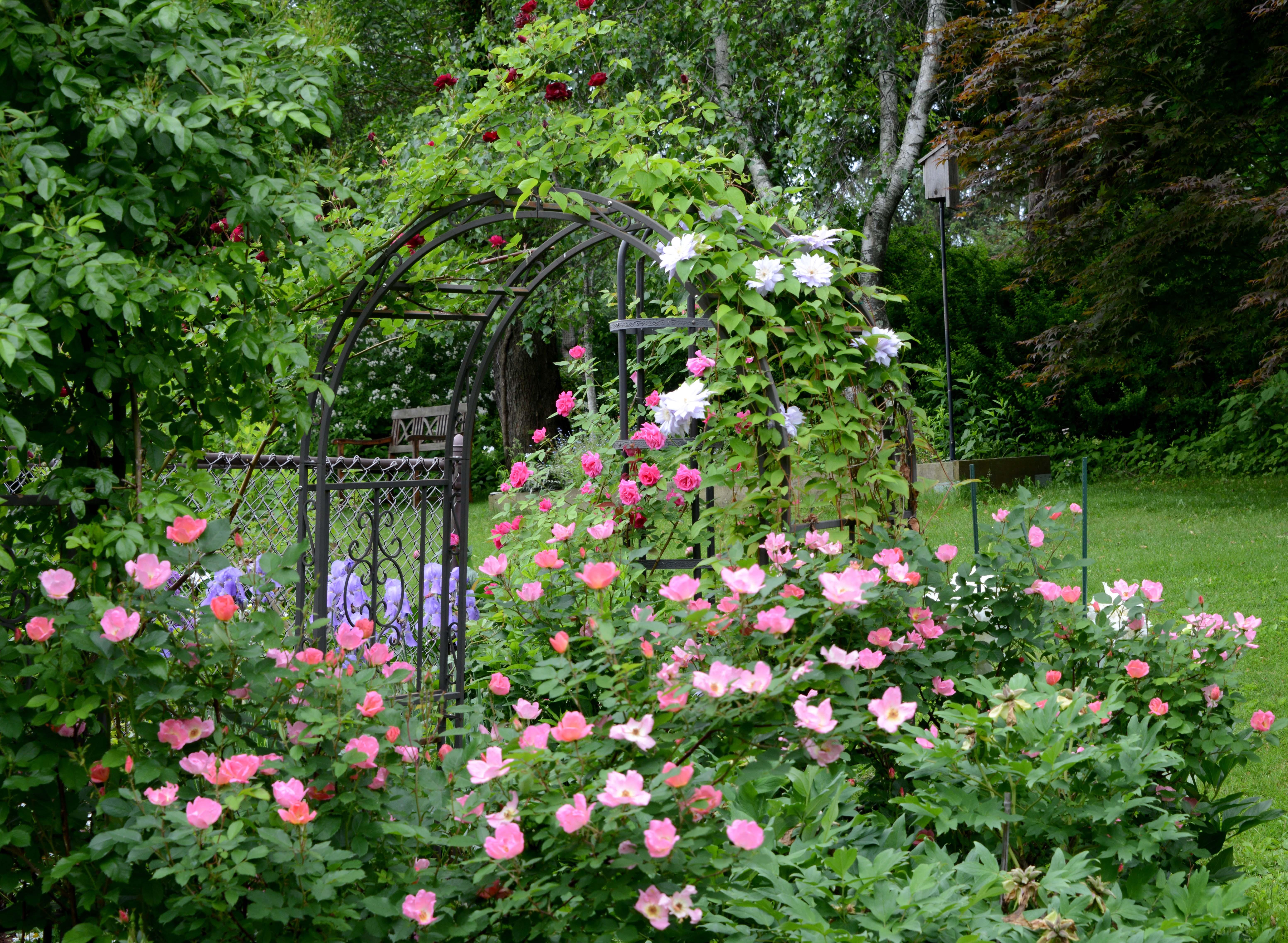 Zephirine Drouhin Climbing Rose rose 'zephirine drouhin'   petals and wings