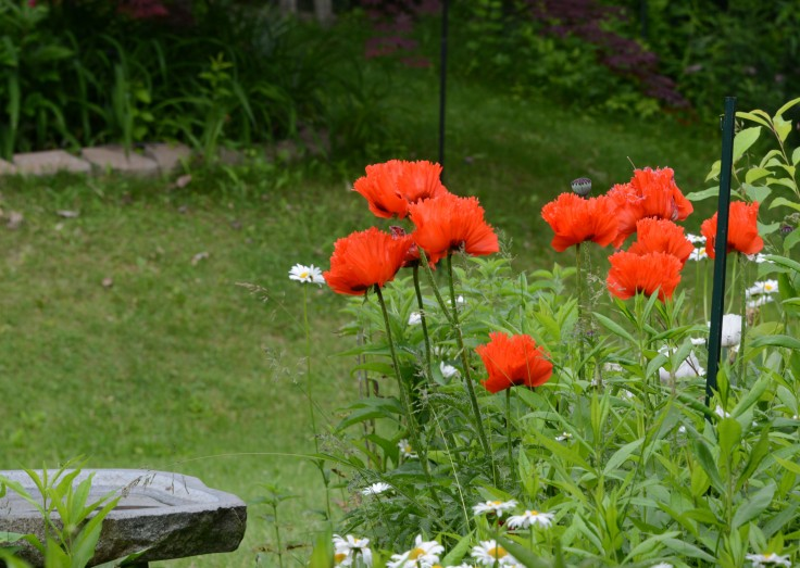 Bright red oriental poppy among white daisy