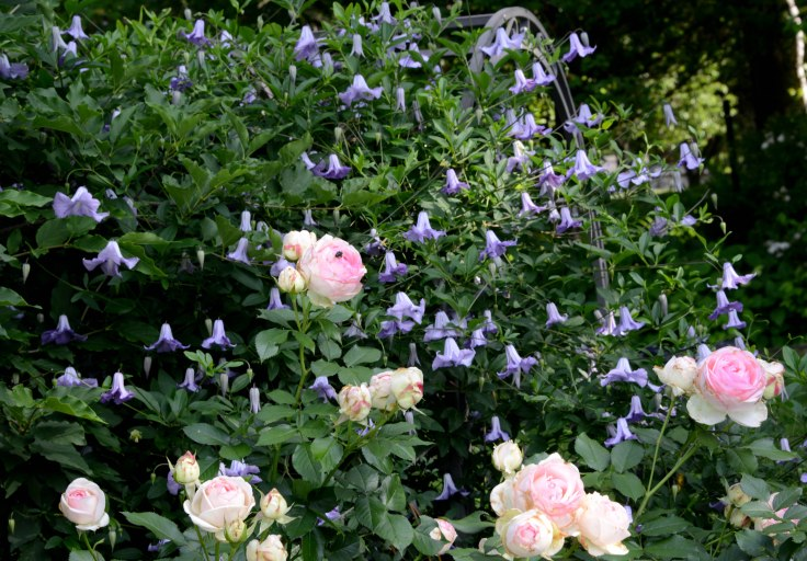 Rose 'Eden' and Clematis 'Betty Corning'